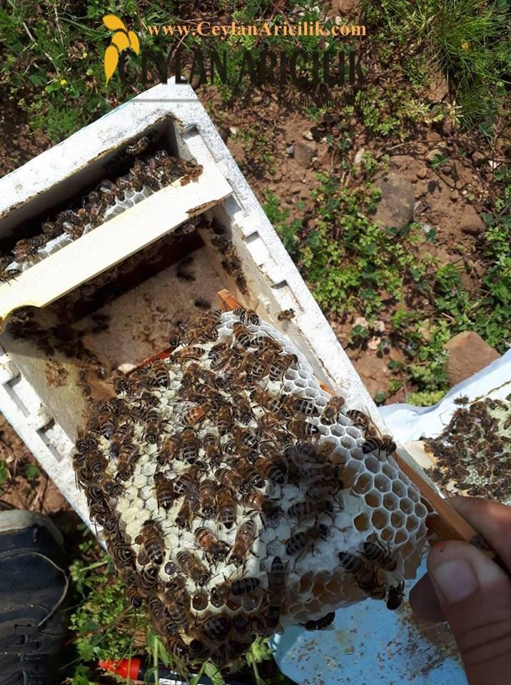 ana arı karniyol