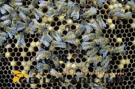 Ana Arı ve Koloni Yönetimi