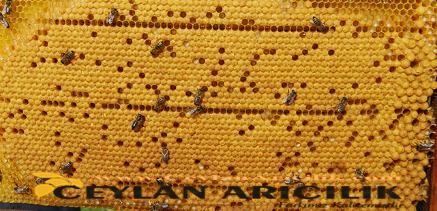 genc ana arı