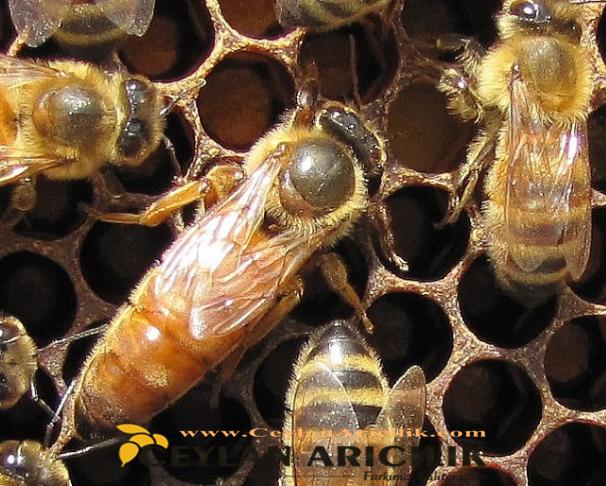 İtalyan Ana arı Özellikleri Nelerdir