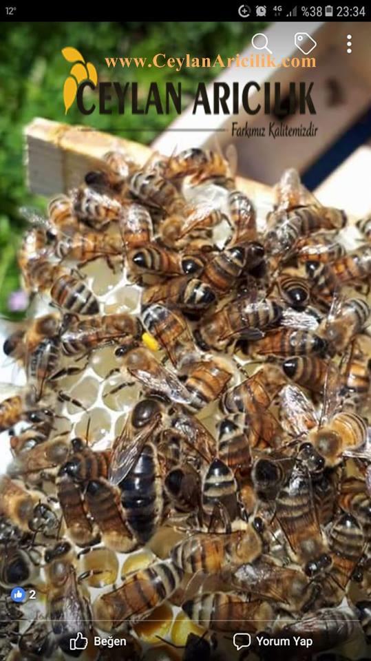 ana arı sutu