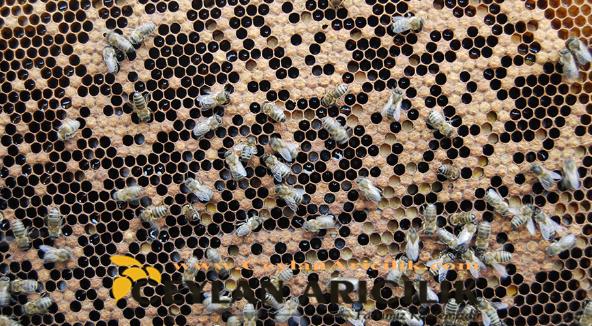 Yaslı Ana Arı