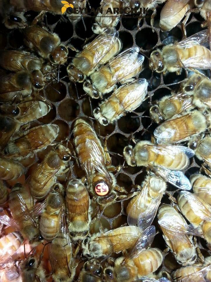 Ana Arı ve Özellikleri