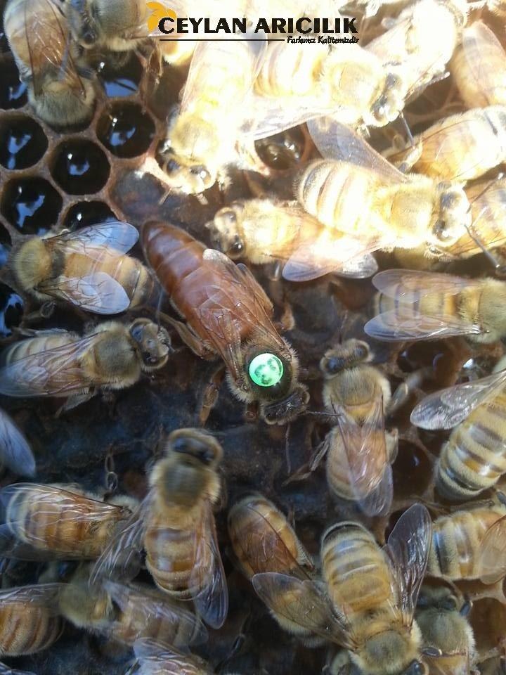 İtalyan Ligustica Ana Arı