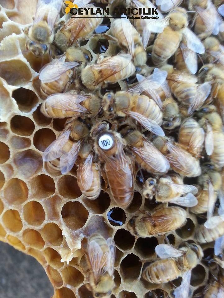 İtalyan Cordovan Ana Arı