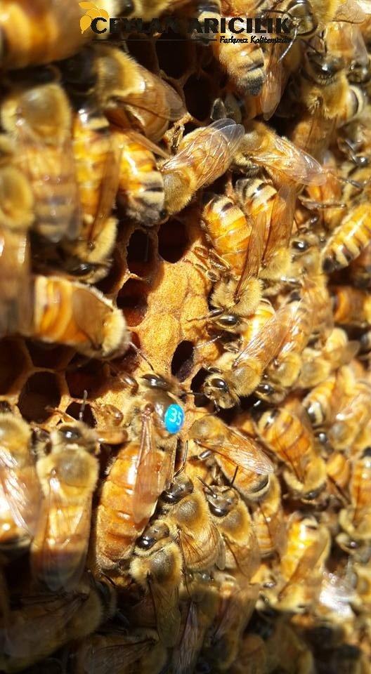 İtalyan Ana Arı