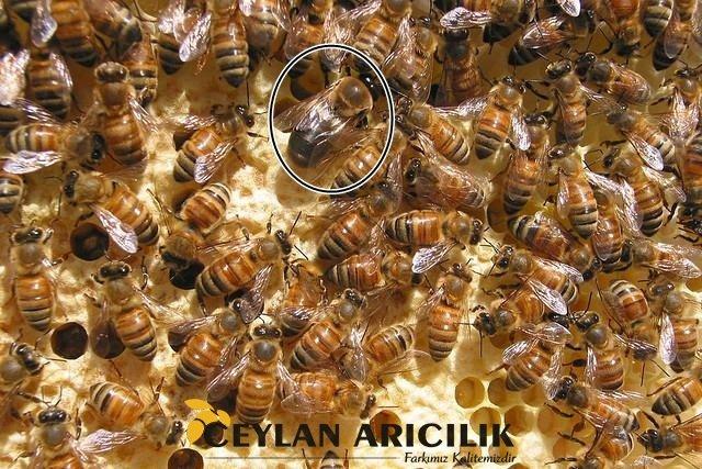 erkek arı