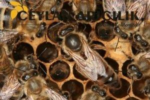 Yığılca Ekotipi Ana Arı