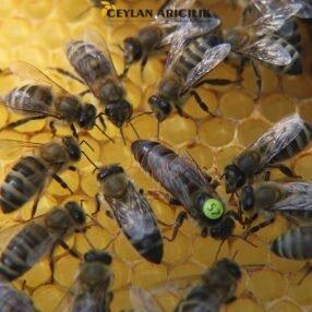 carnika f1 ana arı