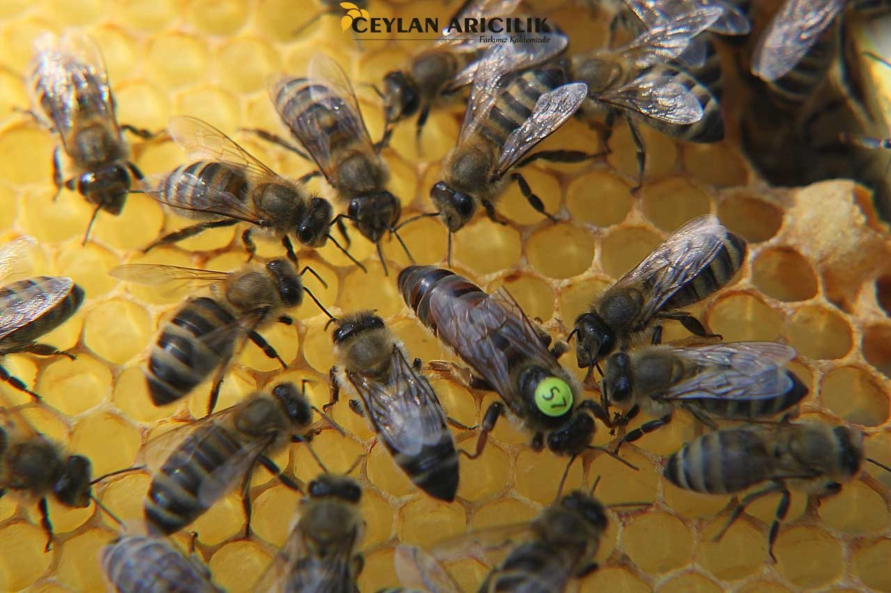 Karniyol-Ana Arı Üretimi