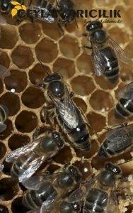 ana arı siparişi
