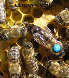 kafkas ana arı