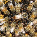 ana arı satısı