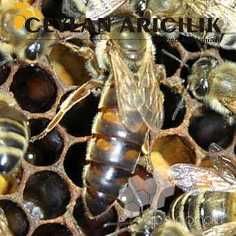 Yığılca Ana Arı