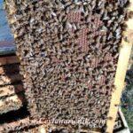 cerceve arı