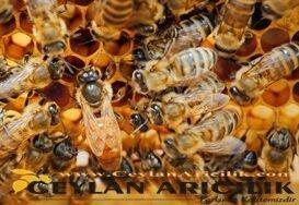 Anadolu Ekotipi Ana Arı