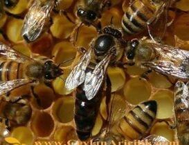 Karniyol Ekotipi Ana Arı