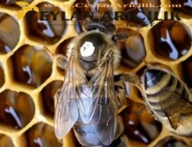 Karpat Ekotipi Ana Arı