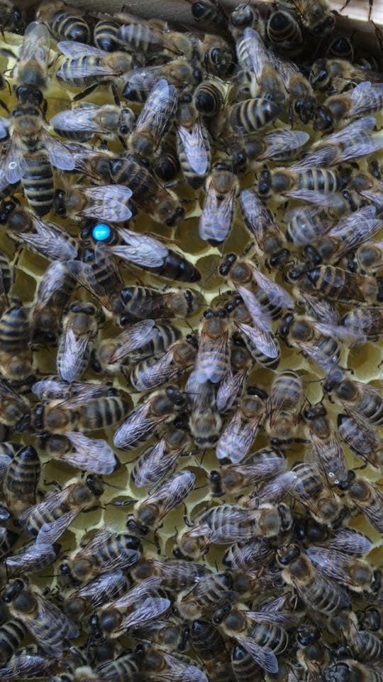 Saf kafkas ana arı